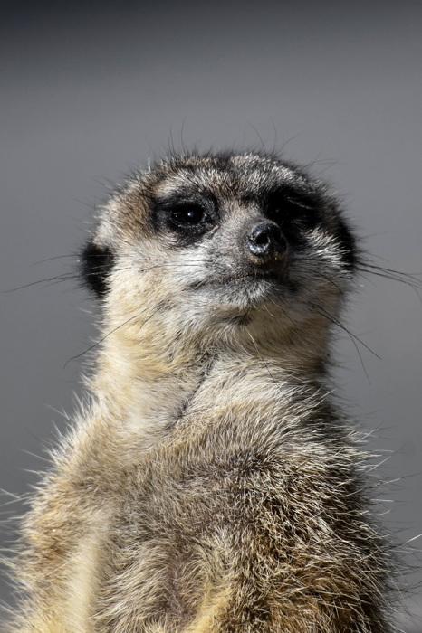 photoblog image Surikat - Meerkat (Suricata suricatta)