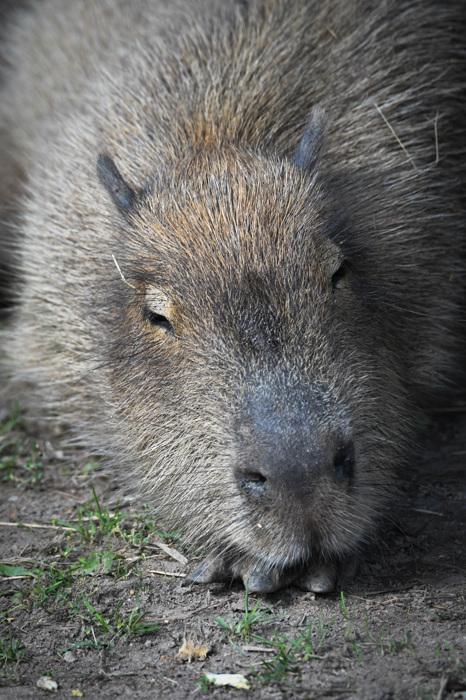 photoblog image Capybara (Hydrochoerus hydrochaeris)