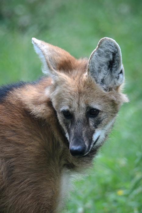 photoblog image Manvarg - Maned wolf (Chrysocyon brachyurus)