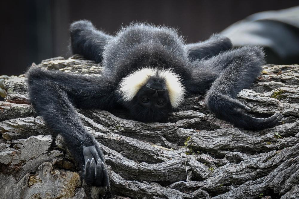 photoblog image Nordlig vitkindad gibbon-Northern white-cheeked gibbon