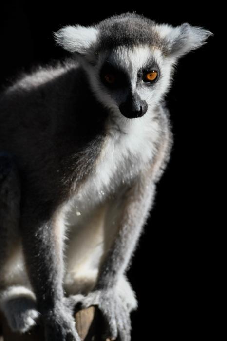photoblog image Ringsvanslemur - Ring-tailed lemur (Lemur catta)