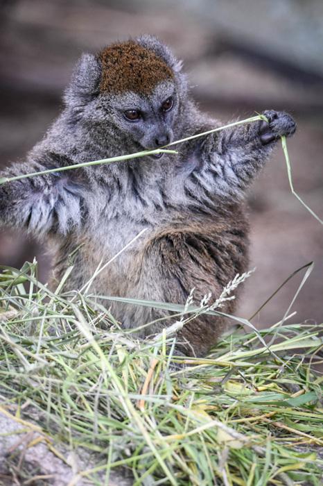 photoblog image Alaotranlemur - Alaotran Gentle Lemur