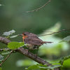 Rödhake - European robin (Erithacus rubecula)