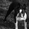 Bostonterrier - Boston terrier