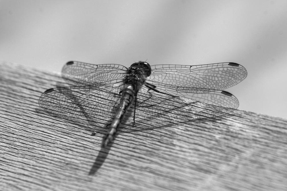 photoblog image Trollslända - Dragonfly