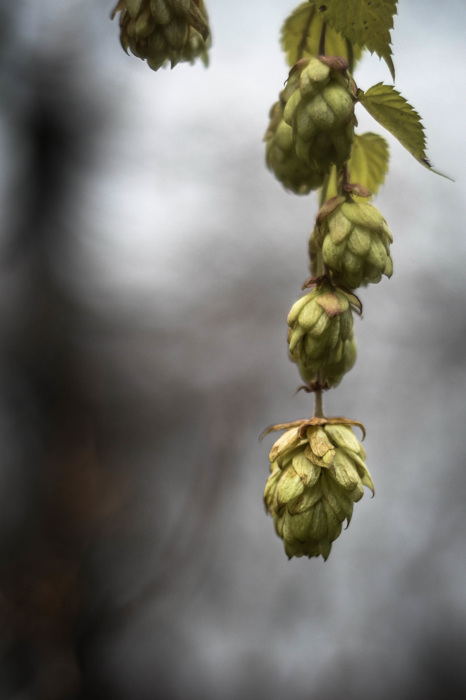 photoblog image Humle - Hops (Humulus lupulus)