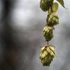 Humle - Hops (Humulus lupulus)