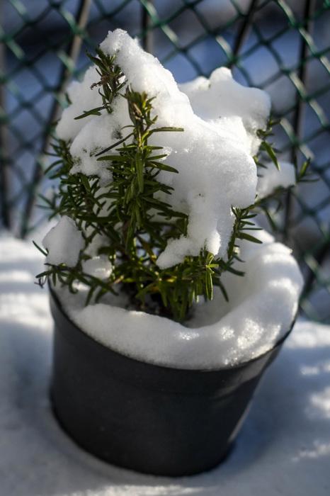 photoblog image Rosmarin - Rosemary (Rosmarinus officinalis)