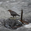 Strömstare - White-throated dipper (Cinclus cinclus)