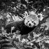 Röd panda - Red Panda (Ailurus fulgens)