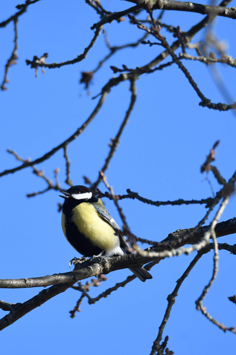 photoblog image Talgoxe - Great tit (Parus major)