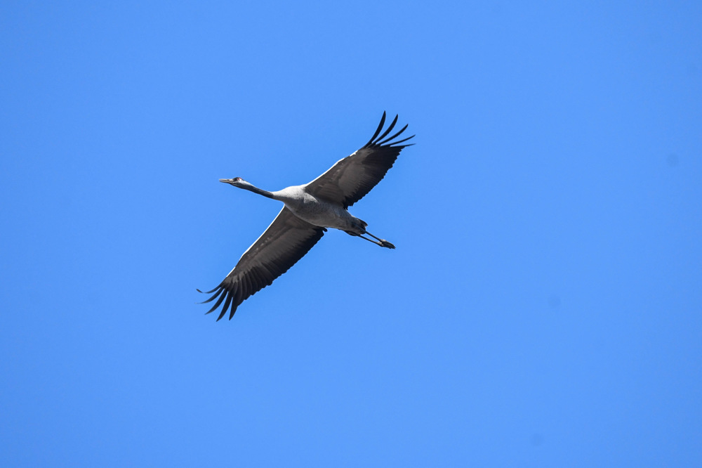 photoblog image Trana - Common crane (Grus grus)