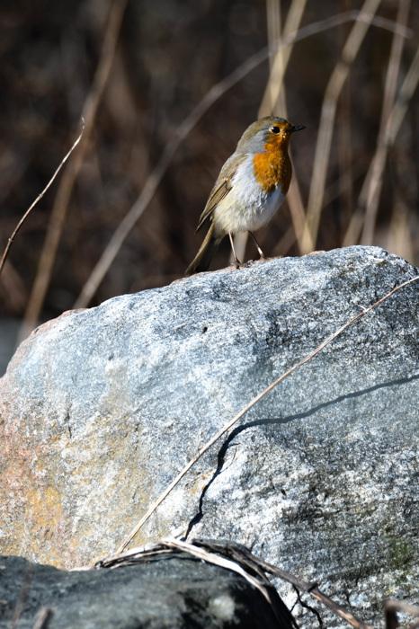 photoblog image Rödhake - European robin (Erithacus rubecula)