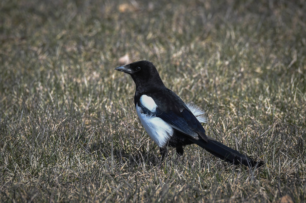 photoblog image Skata - Eurasian magpie (Pica pica)