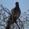 Ringduva - Common wood pigeon (Columba palumbus)