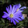Balkansippa - Balkan anemone (Anemone blanda)