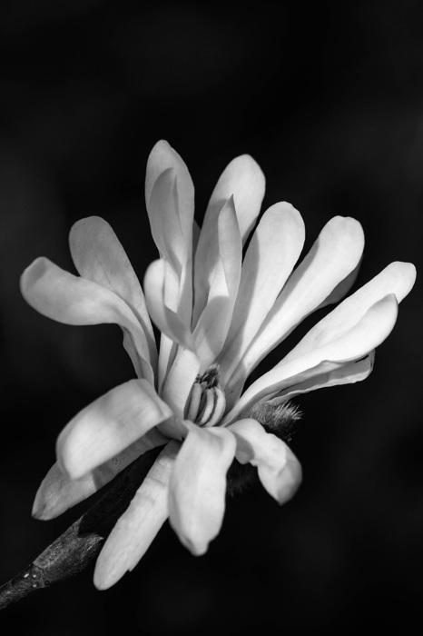 photoblog image Magnolia