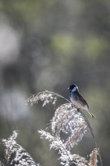 photoblog image Sävsparv - Reed bunting (Emberiza schoeniclus)