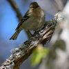 Bofink - Chaffinch (Fringilla coelebs)