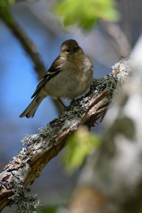 photoblog image Bofink - Chaffinch (Fringilla coelebs)