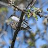 Svartvit flugsnappare - European pied flycatcher
