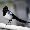 Skata - Eurasian magpie (Pica pica)