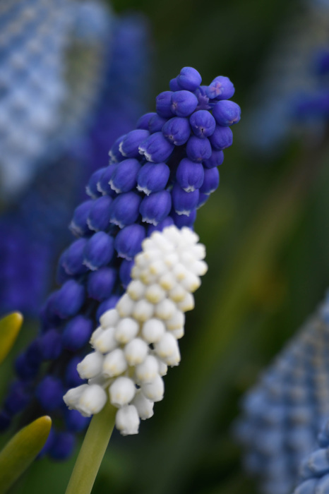 photoblog image Pärlhyacint  -  Grape hyacinth (Muscari botryoides)