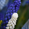 Pärlhyacint  -  Grape hyacinth (Muscari botryoides)
