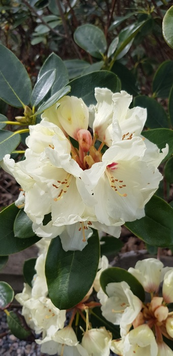 photoblog image Rhododendron