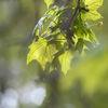 Lönn - Maple (Acer)