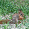 Ekorre - Eurasian red squirrel (Sciurus vulgaris)