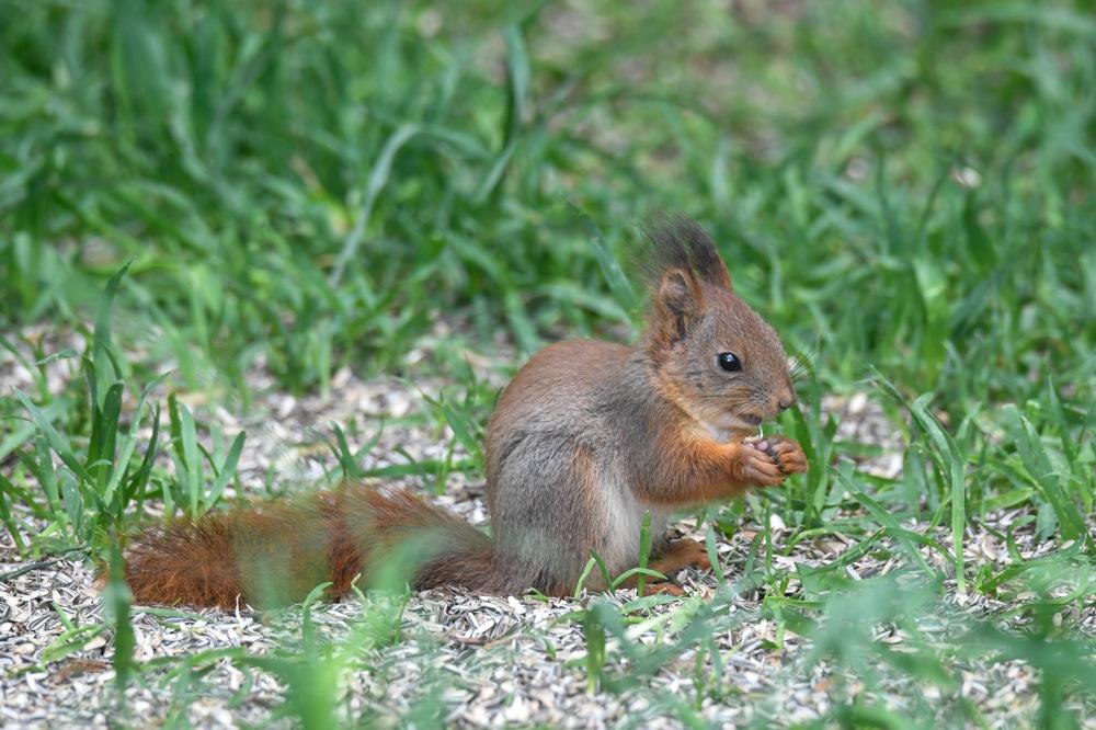 photoblog image Ekorre - Eurasian red squirrel (Sciurus vulgaris)