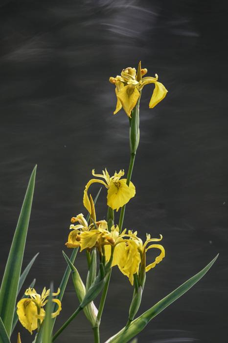 photoblog image Svärdslilja - Yellow Iris (Iris pseudacorus)