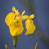 Svärdslilja - Yellow Iris (Iris pseudacorus)