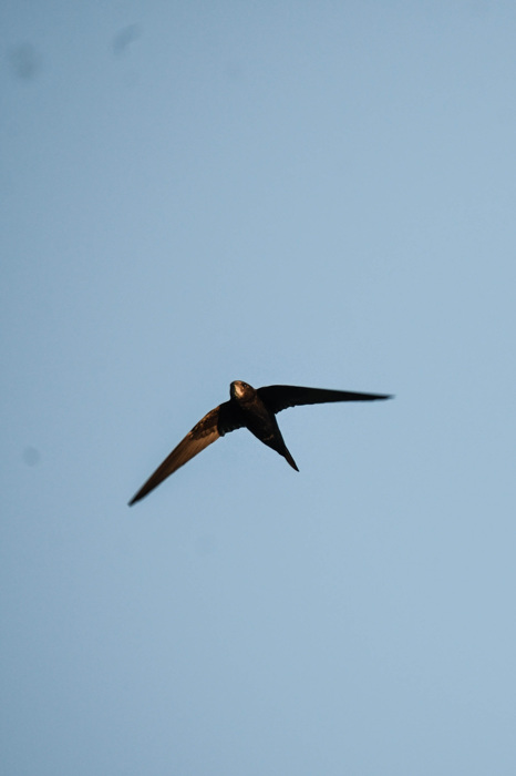 photoblog image Tornseglare - Common swift (Apus apus)