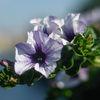Surfinia (Petunia x hybrida)
