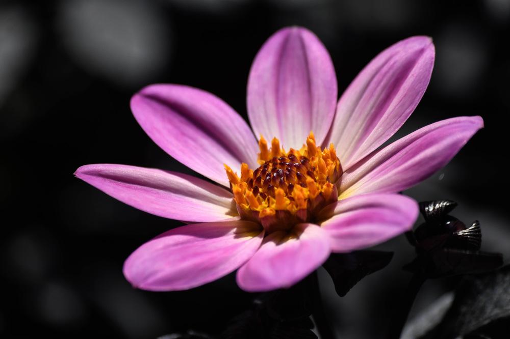 photoblog image Dahlia