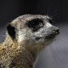 Surikat - Meerkat (Suricata suricatta)