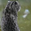 Fiskarkatt - Fishing cat (Prionailurus viverrinus)