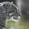 Fiskarkatt - Fishing cat (Prionailurus viverrinus)