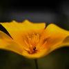 Sömntuta - California Poppy (Eschscholzia californica)