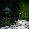 Storkarv - Great cormorant (Phalacrocorax carbo)