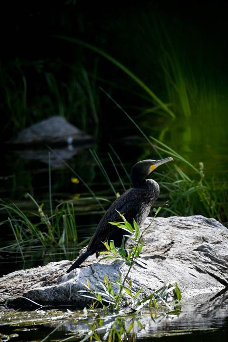 photoblog image Storkarv - Great cormorant (Phalacrocorax carbo)
