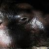 Dvärgflodhäst - Pygmy hippopotamus