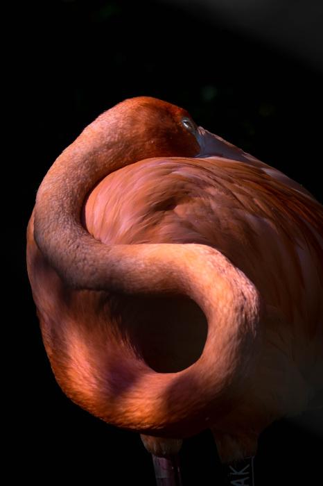 photoblog image Karibflamingo - American flamingo(Phoenicopterus ruber)