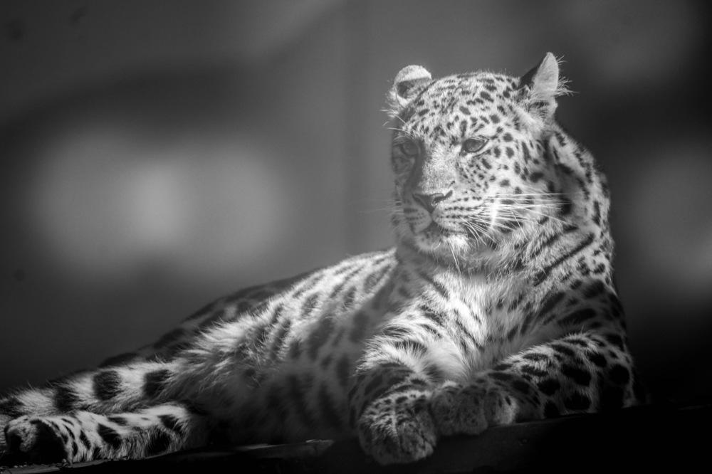 photoblog image Amurleopard (Panthera pardus orientalis)