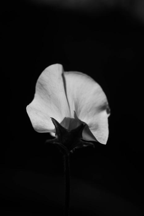 photoblog image Luktärt - Sweet pea (Lathyrus odoratus)