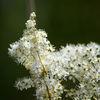 Älggräs - Meadowsweet (Filipendula ulmaria)