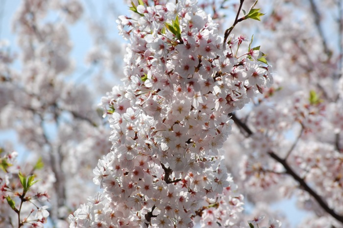 photoblog image Cherry blossoms, Tokyo, Japan
