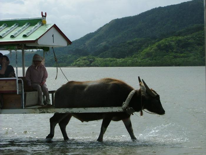 photoblog image A water buffalo in Okinawa, Japan